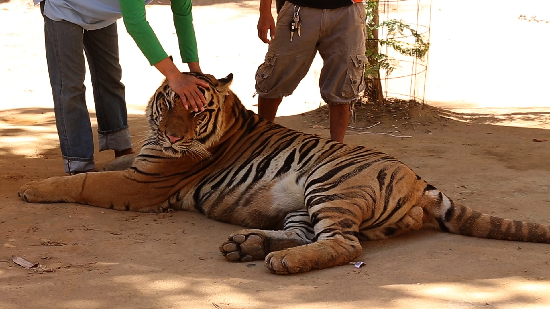 Special Investigation: Famous Tiger Temple Accused